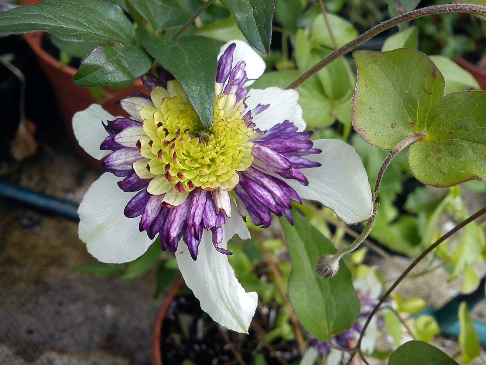 DOUBLE FLOWER CLEMATIS