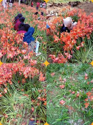 """Kebun Bunga """"Amaryllis"""""""