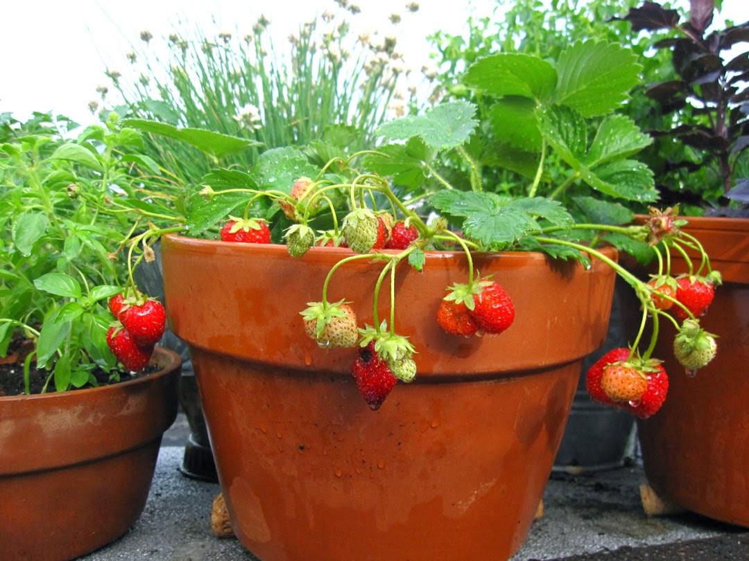 Gardening Strawberries in Pots