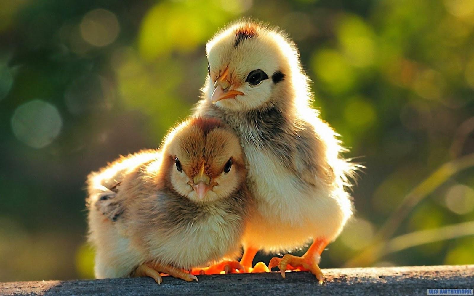 dos pollos lindos