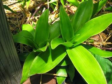 Cây lược vàng - basket plant - cây thuốc nam quý