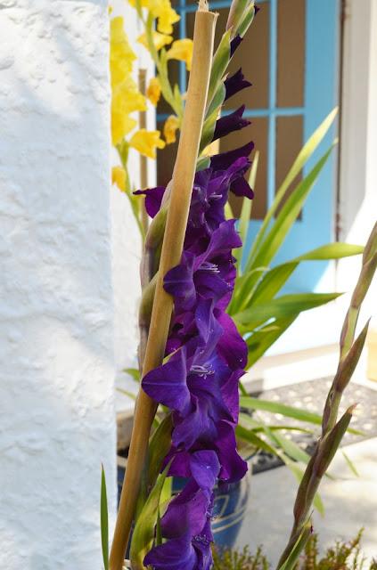 black gladioli bud