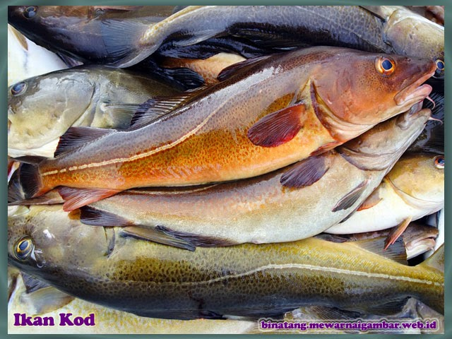 gambar binatang ikan kod