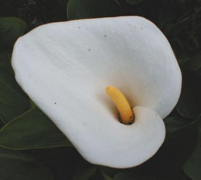 Calla Aethiopica Fragrant Dwarf photo