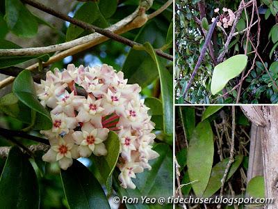 Wax Flower (Hoya verticillata)