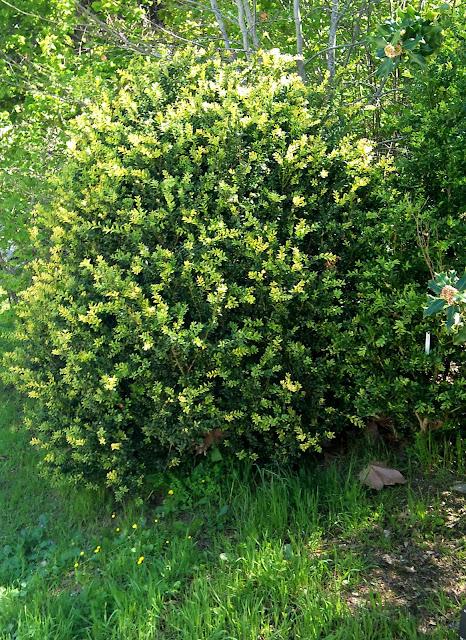 Rboles con alma boj boix buxus sempervirens for Arbustos perennes para jardin