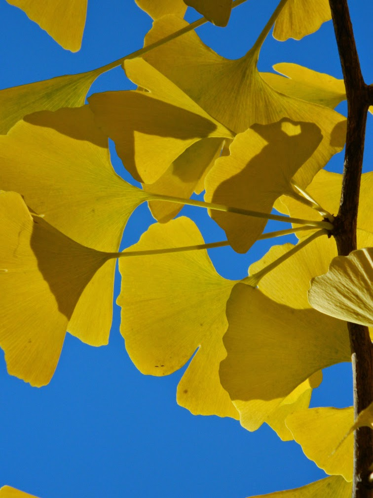 Ginkgo biloba Maidenhair tree autumn leaves Mount Pleasant Cemetery by garden muses-not another Toronto gardening blog