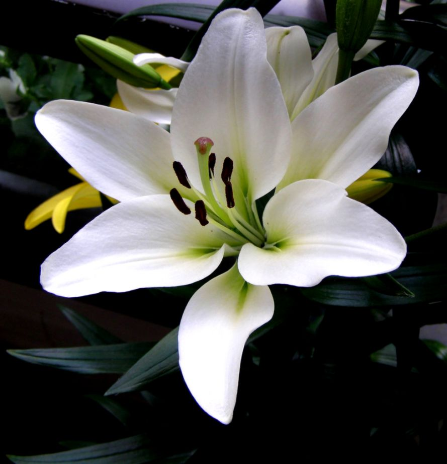 Single White Lily  Grown on my balcony  Robert Cowie  Flickr
