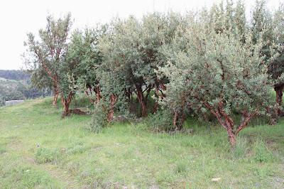 Polylepis Trees Sacsayhuman