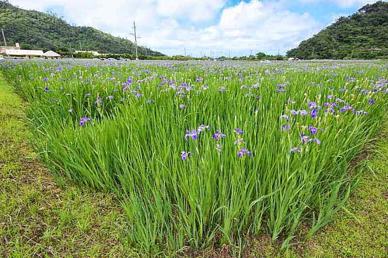 iris, flowers,fields