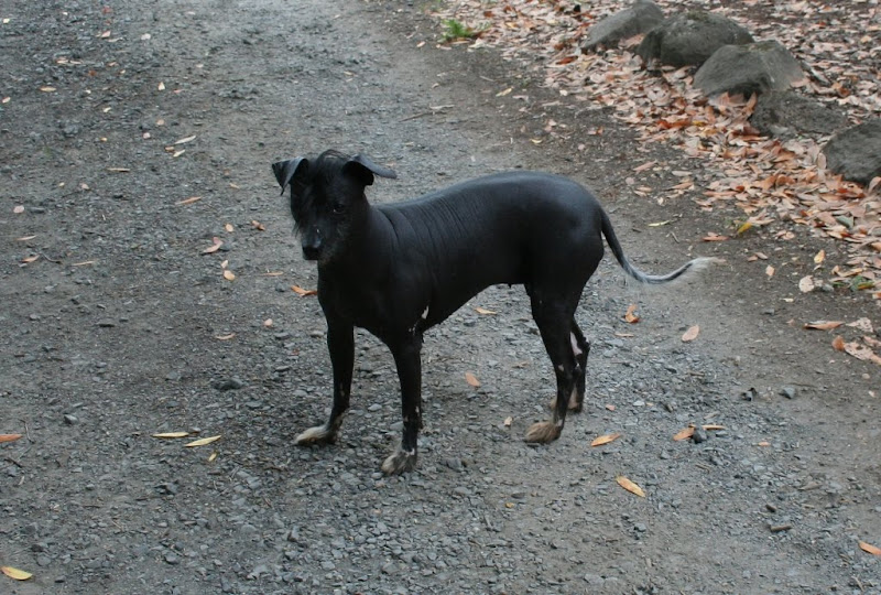 a black mexican hairless dog with crest of hair on head, you can see creases on the skin on her back