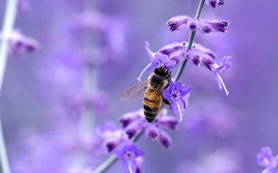 Vea usted a una abeja polinizando las flores - Insectos