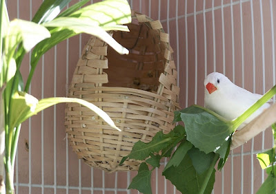 White Male Zebra Finch in Cage