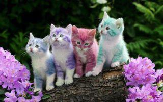 kucing kaler