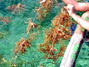 rumput laut, tanaman rumput laut, gambar rumput laut, budidaya rumput laut
