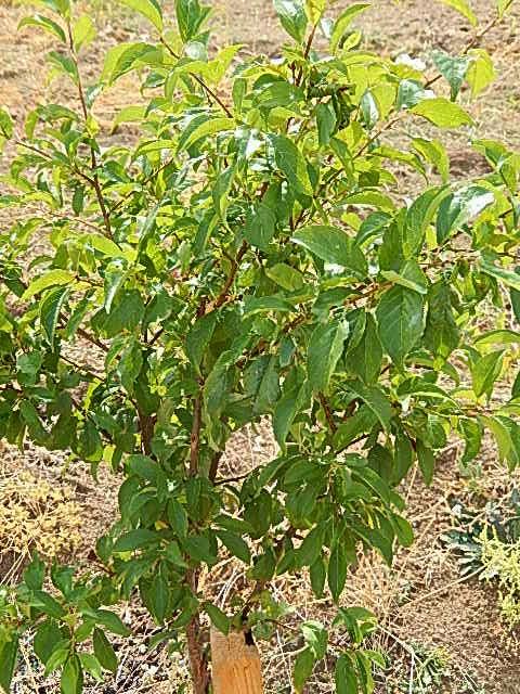 Meyve ağacı