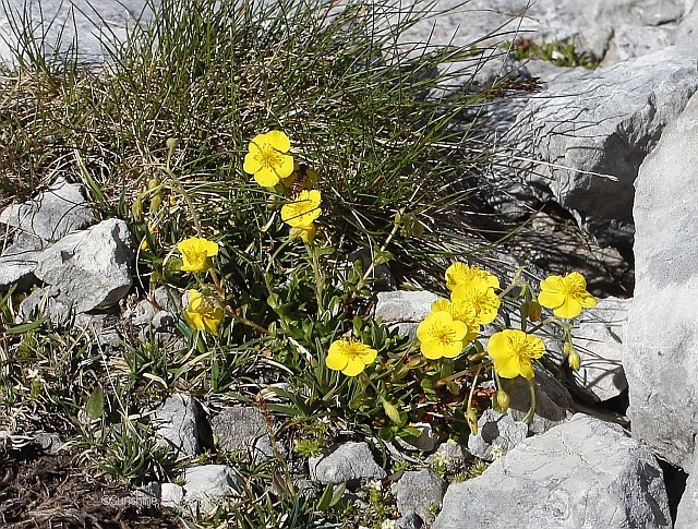 Helianthemum alpestre rock rose in the Alps