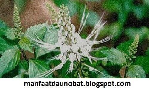 khasiat daun kumis kucing