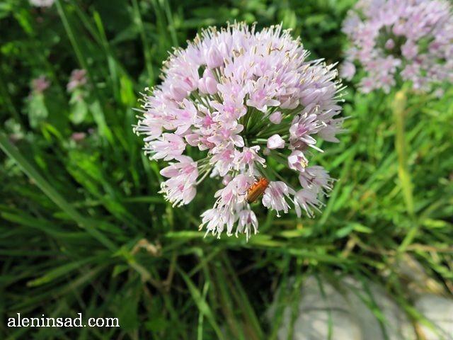 лук-слизун, Allium nutans, аленин сад, цветы, июль