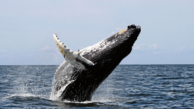 Humpback whale breaching out of the water
