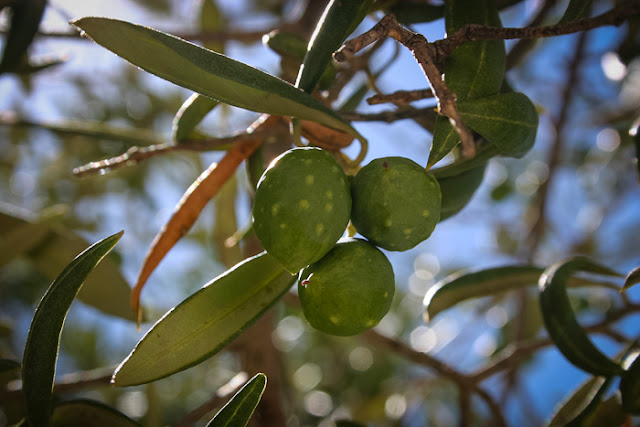 Olives ripening at Temisas: The heartland of olive country in Gran Canaria