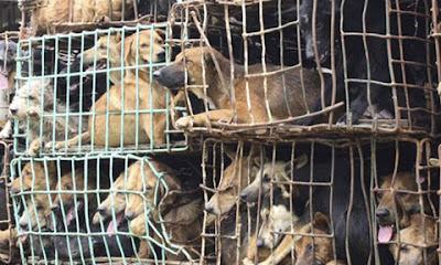 Mỗi năm tại Việt Nam có đến 5 triệu chú chó bị sát hại để làm thức ăn, mồi nhậu. Ảnh minh họa