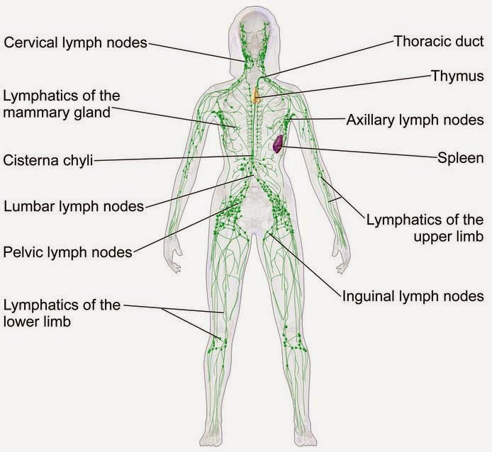 Encyclopedia Of Biology Human Lymphatic System