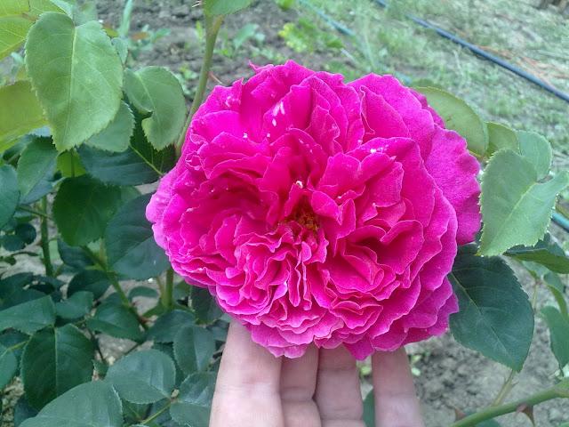 Florile mele minunate