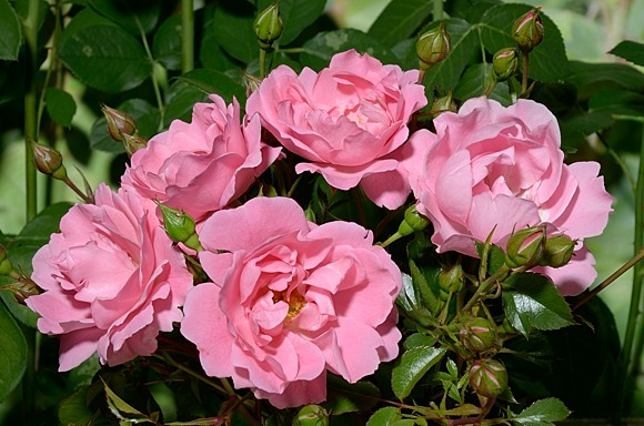 Sommerwind rose сорт розы фото