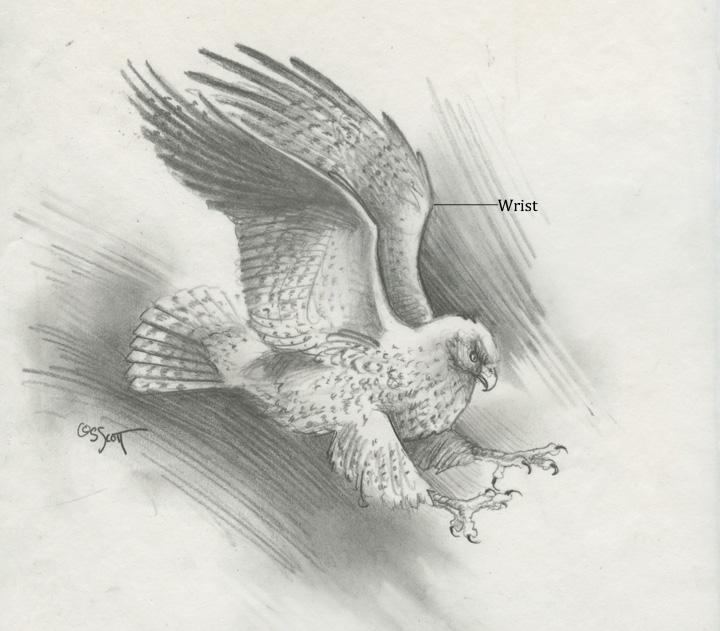 Sandy Scott Art: #427 In the studio: Bird anatomy, con\'t . . .