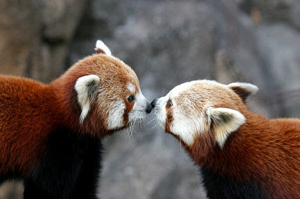 40 Adorable red panda pictures (40 pics), red pandas kissing