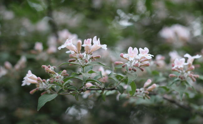 Beauty Bush Flowers Pictures