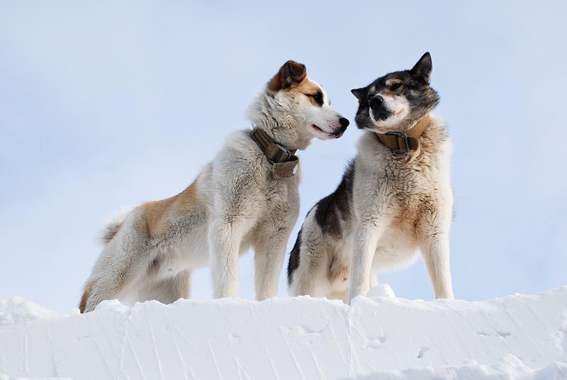 Siberi koerad Tara triivil, Siberaian dogs on Tara drift