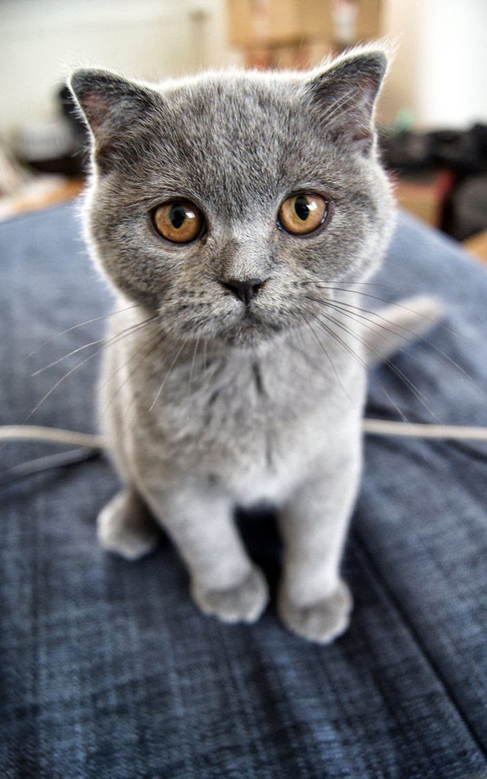 How much does a Scottish Fold Kitten Cost?