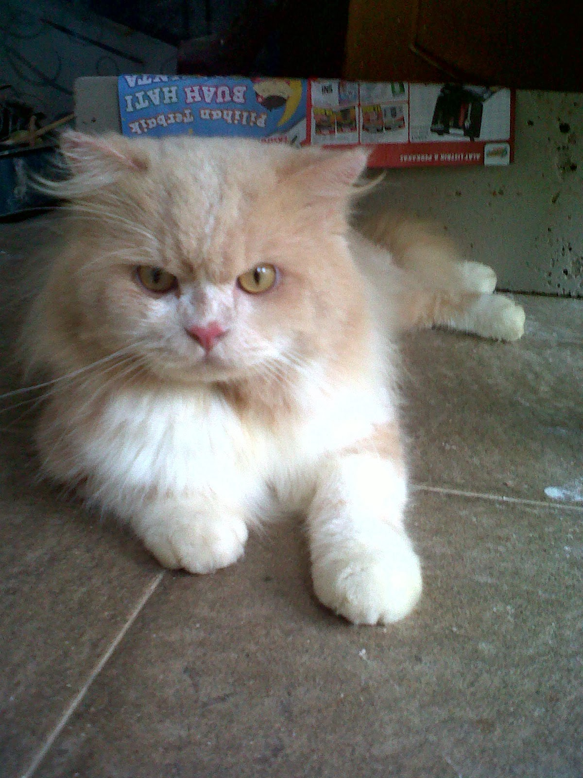 The Color Point Of Life Dijual Kucing Persia Medium Gemuk