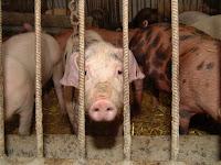 Há quem se choque quando vê imagens do que fazem aos animais no abate