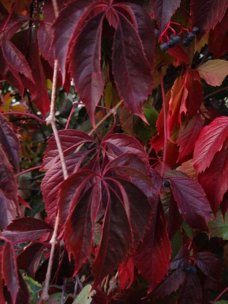 листва, осень, бордовый