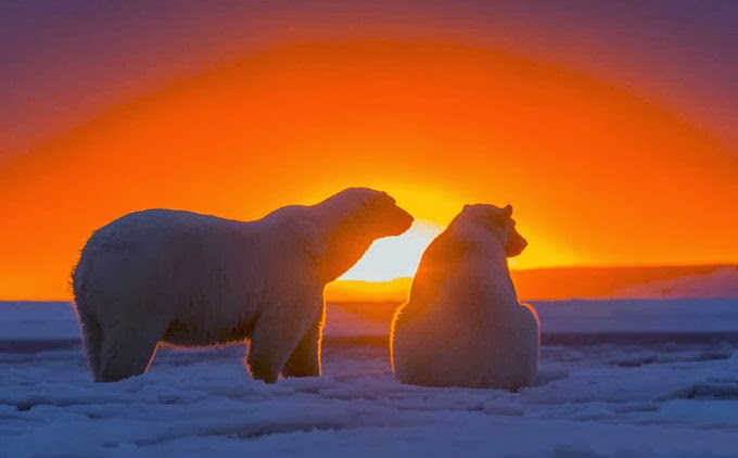 http://funkidos.com/pictures-world/wild-life/polar-bears-at-sunset