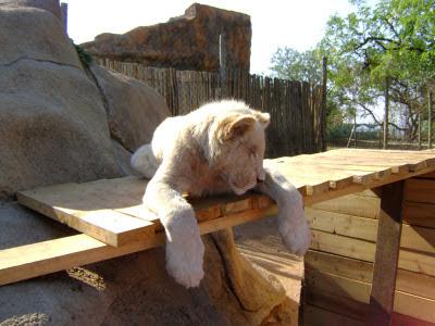 Białe lwiątko