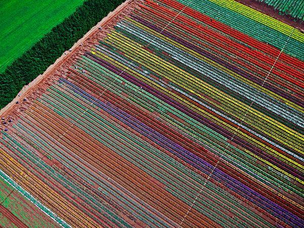 tulip farm tasmania 42704 600x450 شهر مايو في هولندا  موسم حصاد زهور التوليب  جنة على الأرض