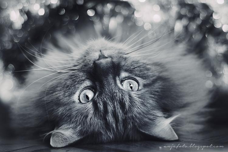kot norweski leśny, kot, anjafotografia,