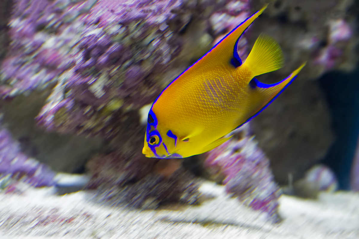 Bwephoto for Queen angel fish