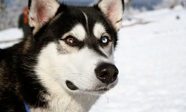 كلب الاسيكمو