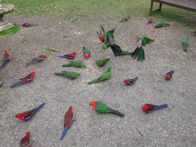 King Parrots and Crimson Rosellas feeding