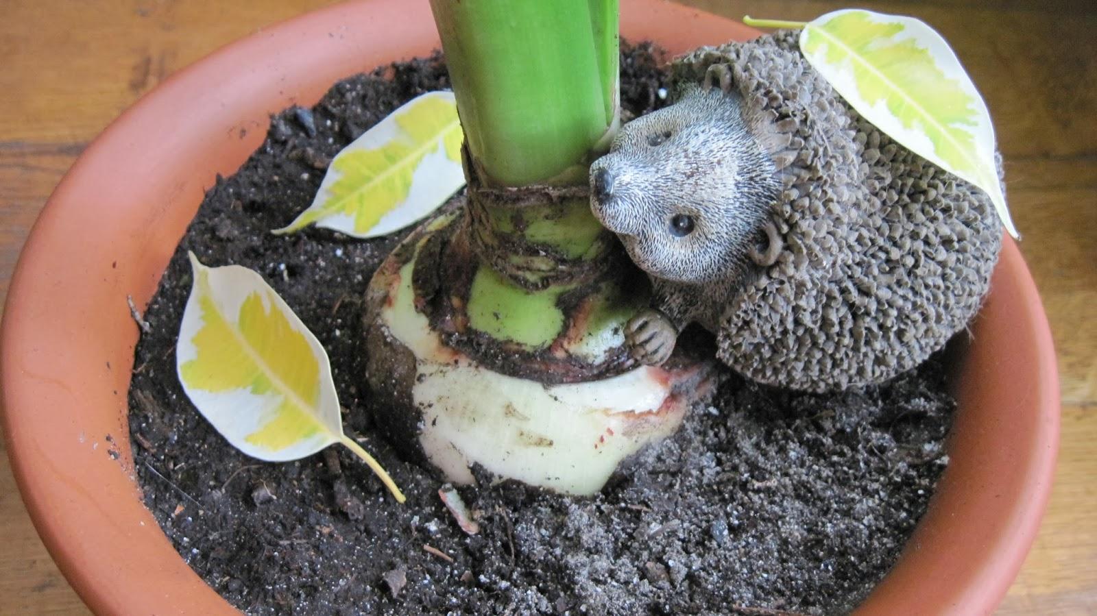 Гиппеаструм можно ли сажать несколько луковиц в один горшок 88
