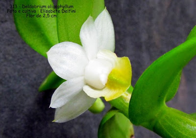 Dendrobium oligophyllum  do blogdabeteorquideas