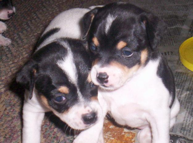 Cute Puppy Dogs Rat Terrier Puppies