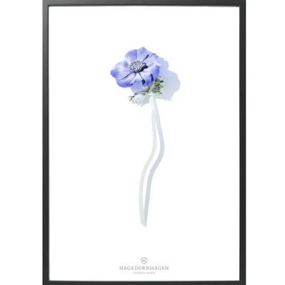 plakat fra Hagendornhagen, enkel og fin fransk anemone