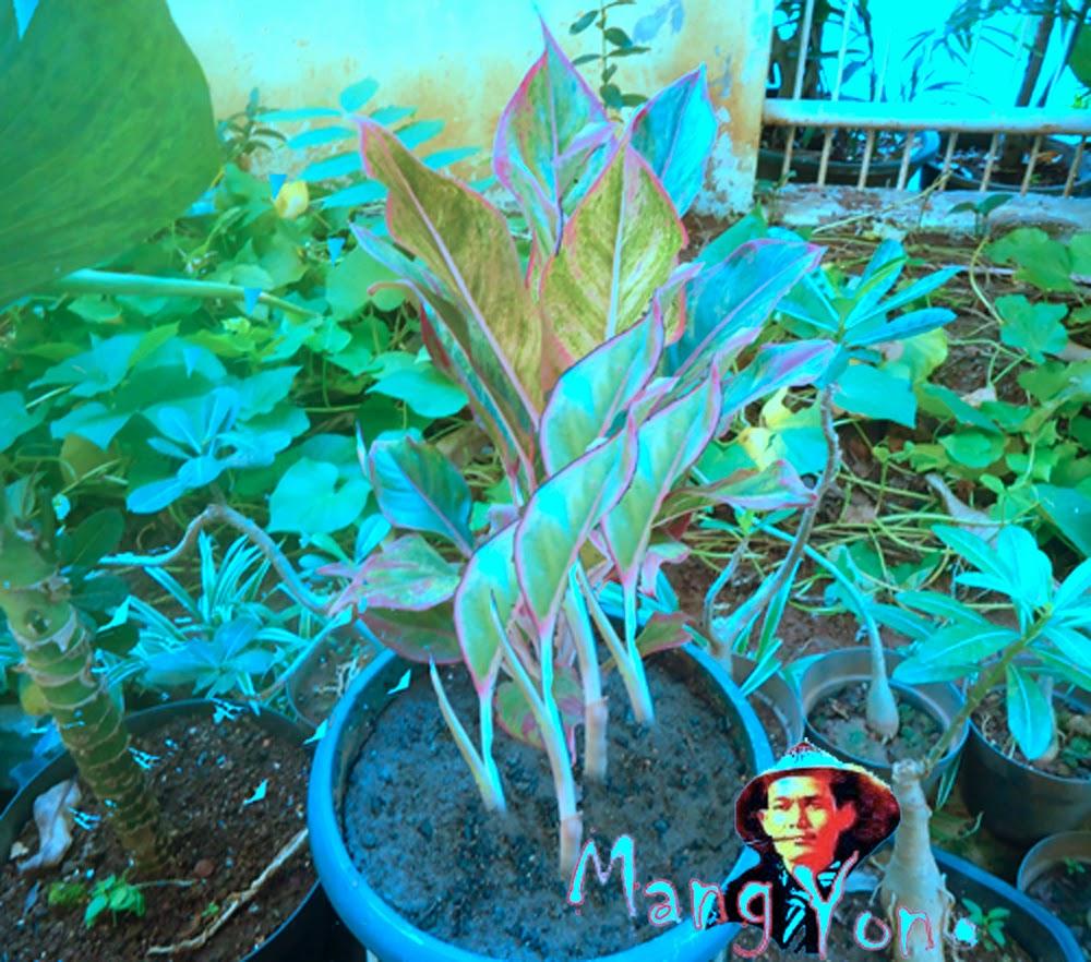 Cara Memisahkan Anakan Bunga Donna Carmen dari Indukannya dan cara menanam dengan media pot.
