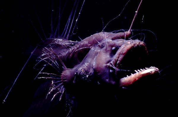 Life of anglerfish life of sea for Angler fish adaptations